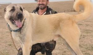 72 Binlik Kangal Köpeği