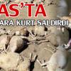 Koyunlara kurt saldırdı:91 koyun telef oldu